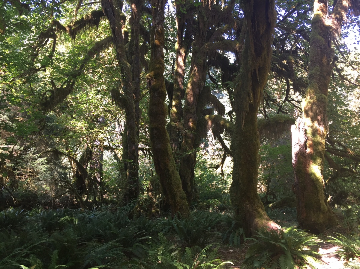 Sunday Hikes:  The Cannibalistic Trees of Olympic National Park and the Roosevelt Elk who live among them.