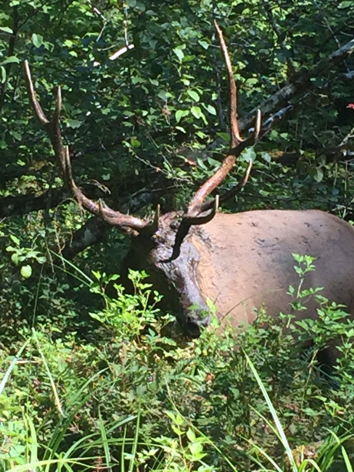 Friday Favorites:  Roosevelt Elk and Other National ParkWildlife