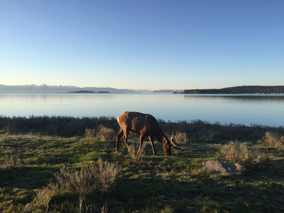 Picture of the Day: Elk in Yellowstone