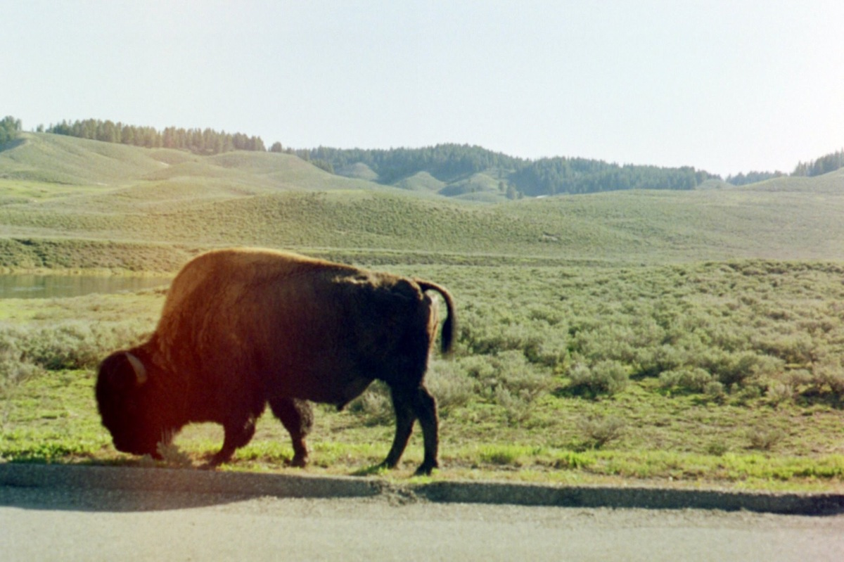 Picture(s) of the Day: Bison in Yellowstone