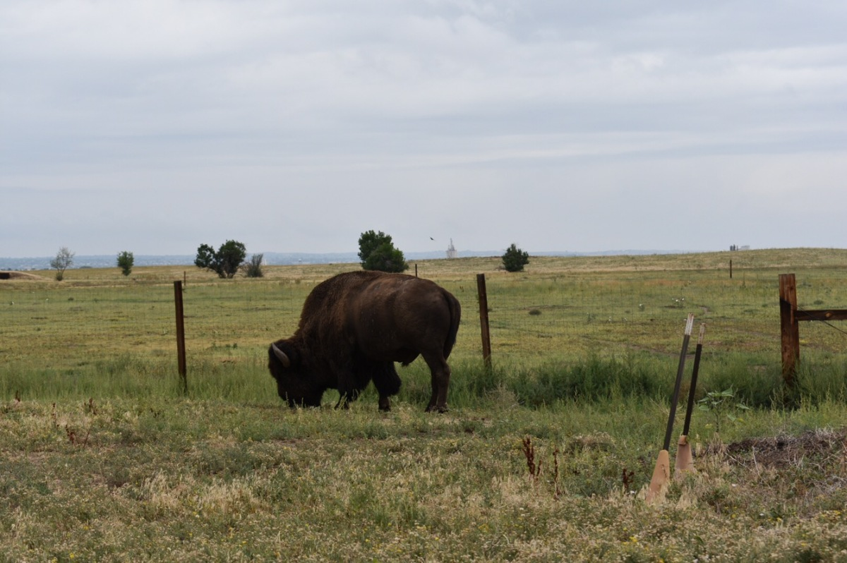 Picture of the Day: Bison in theCity