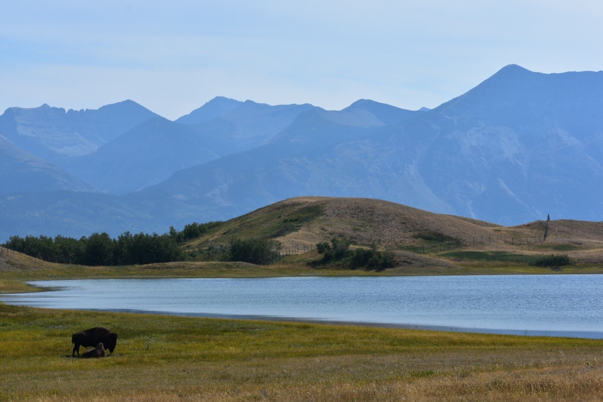 Picture of the Day: Bison in Waterton Lakes