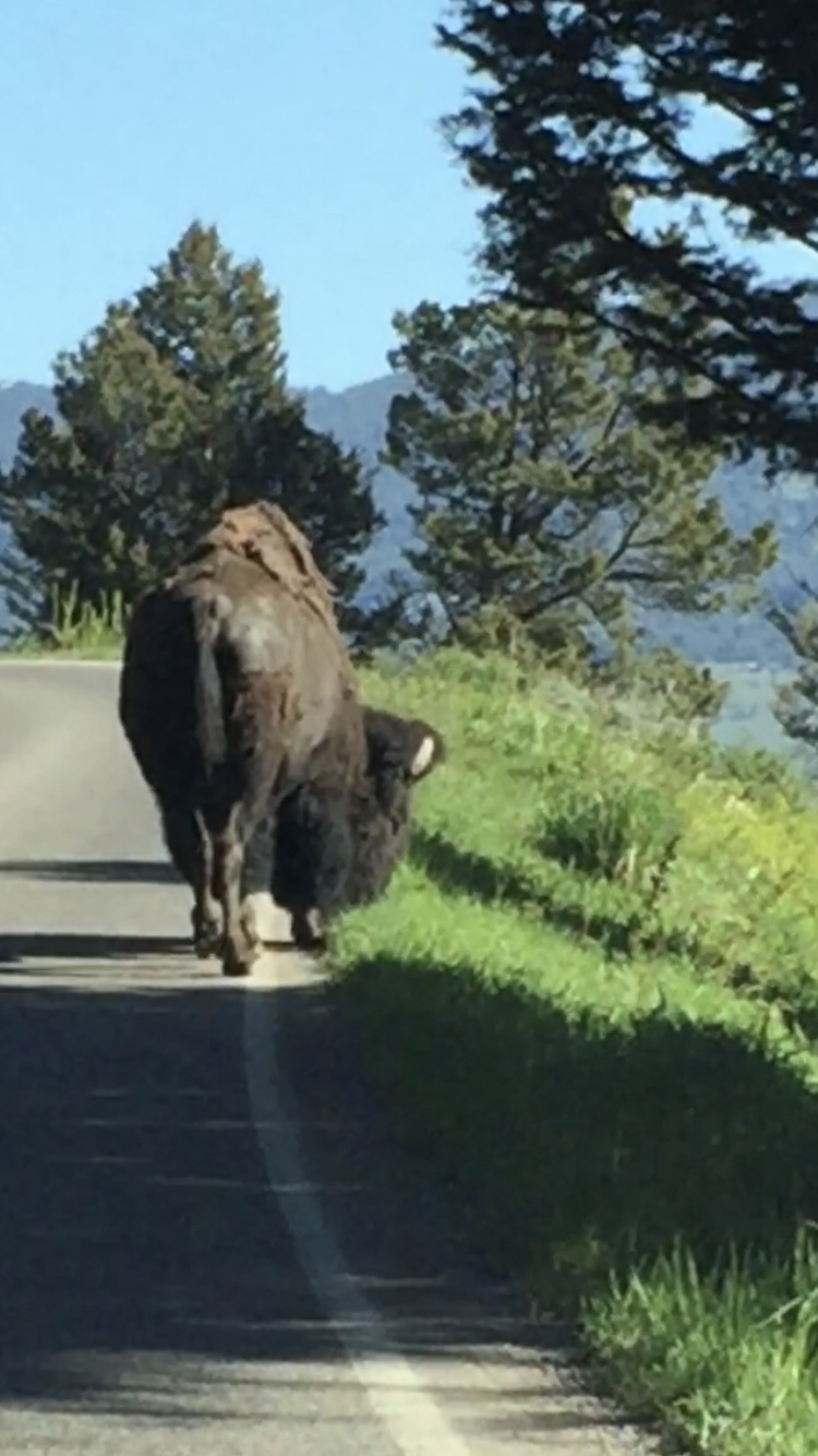 Friday Favorites:  Bison in Yellowstone National Park