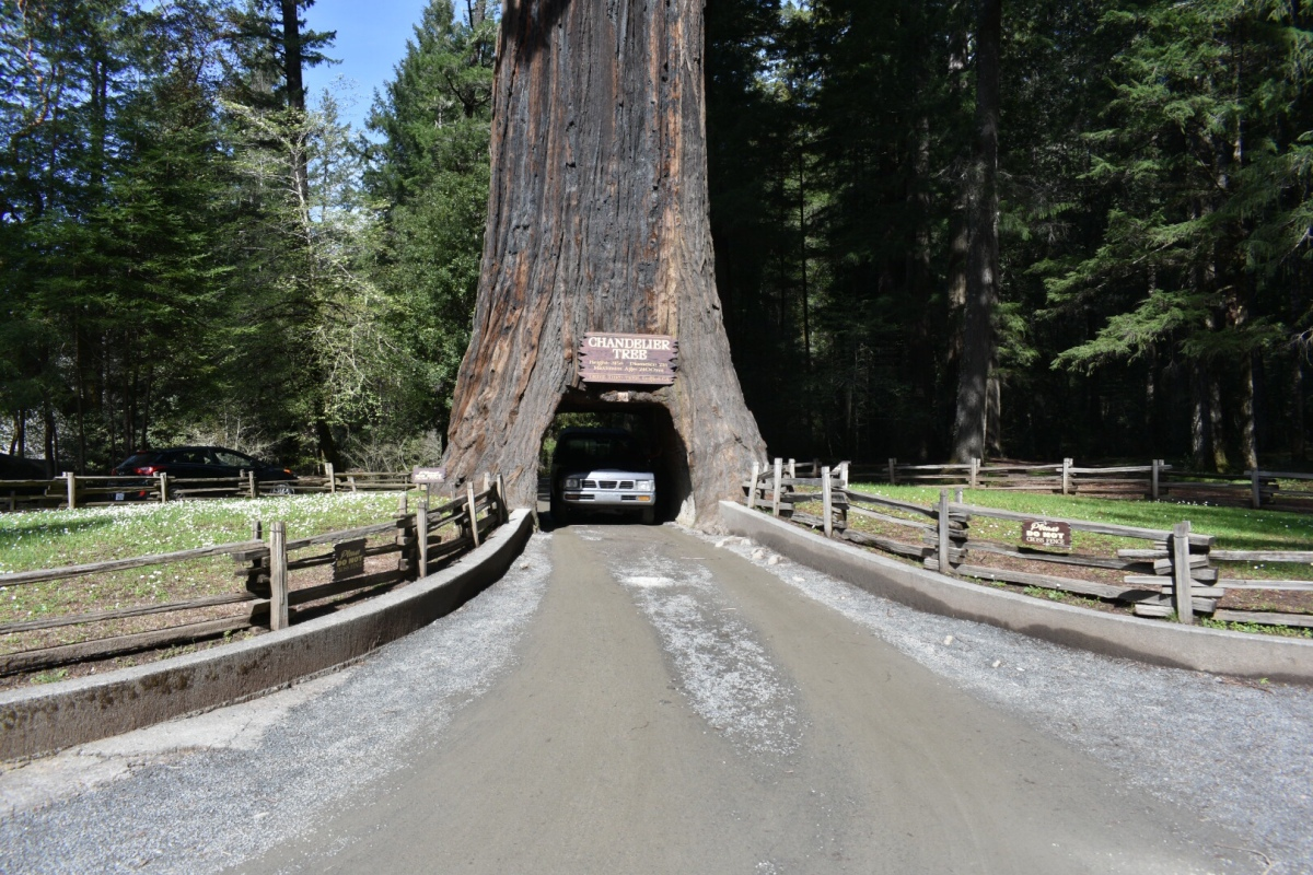 Picture of the Day:  Driving throughRedwoods!