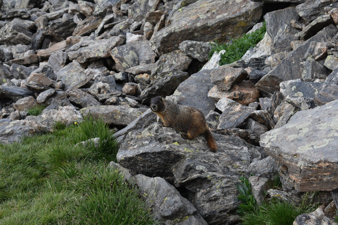 Picture of the Day: Rocky MountainMarmot