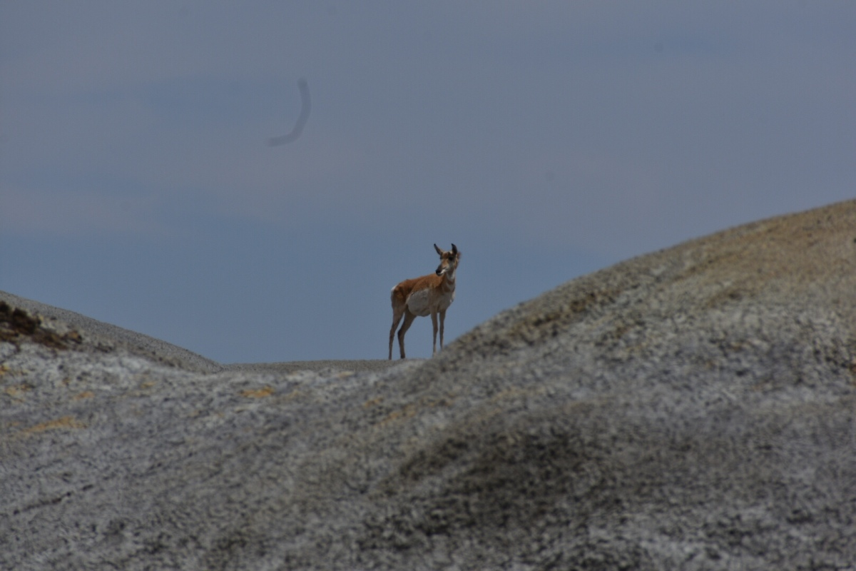 Picture of the Day: Pronghorn Antelope