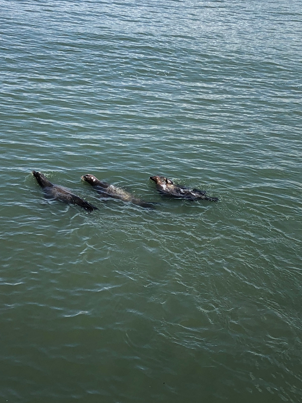 Picture of the Day:  Sea Lions at the Santa Cruz Wharf